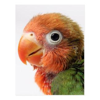 Papillero för Agapornis för Lovebirdchick | Vykort
