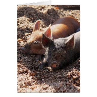 Para av grisar OBS kort
