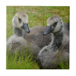 Para av kanadensisk gäss för babyen som Goslings b Kakelplatta