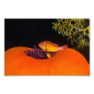 Para av tryck för anemonfiskfoto