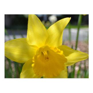 Påsklilja - gult vykort