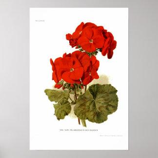 """Pelargonia 'hans majestät """", poster"""