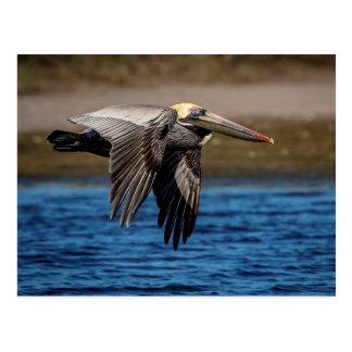 Pelikan i flyg vykort