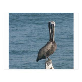 Pelikan på att trava vykort