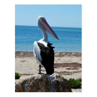 Pelikan på strandsten, vykort