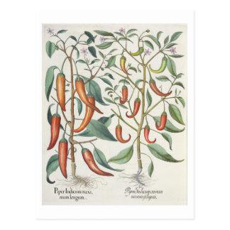 Peppar: longum för 1.Piper Indicum maximum; Vykort