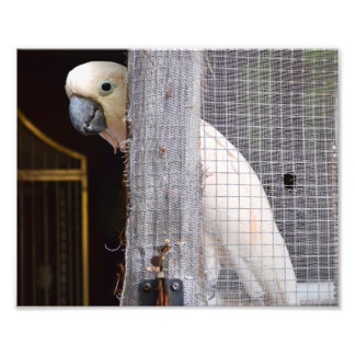 Persikor papegojan fototryck