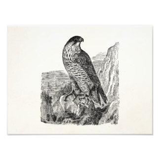 Personifierade Retro fåglar för vintage Peregrine Fototryck