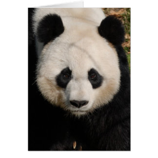 Petulant Pandabjörn Hälsningskort