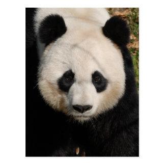 Petulant Pandabjörn Vykort