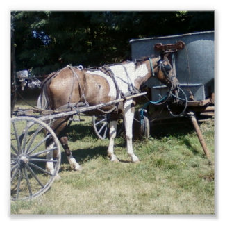 PintoAmish häst Poster