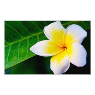 Plumeria Fototryck
