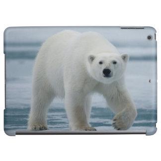 Polar björn, Ursus Maritimus, vuxen