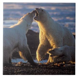 Polara björnsuggor med ungen på sidan, kust- 1002 kakelplatta