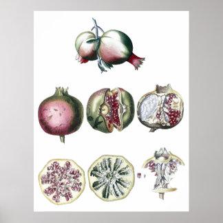 Pomegranate-botaniskt tryck