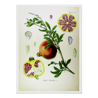 Pomegranate - vetenskapliga illustrationer poster