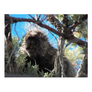 Porcupine på vår egendom 5-20-12 vykort