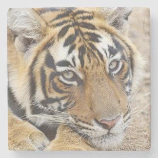 Porträtt av den kungliga Bengal tigern, Stenunderlägg