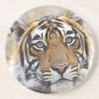 Porträtt av den kungliga Bengal tigern, Underlägg Sandsten