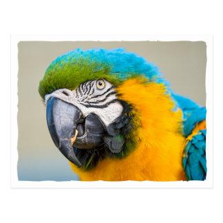 Porträtt av en blått- och gultMacaw Vykort