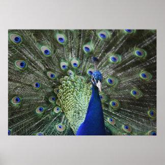 Porträtt av påfågeln med fjädrar ut poster