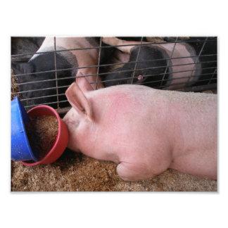 Profilera av rosa gris som att lägga besegrar vid  fotografiskt tryck