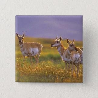 Pronghorn antilop i Montana Standard Kanpp Fyrkantig 5.1 Cm
