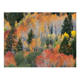 Provo flod- och aspenträd 11 vykort