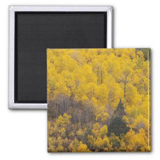 Provo flod- och aspenträd 12 magnet