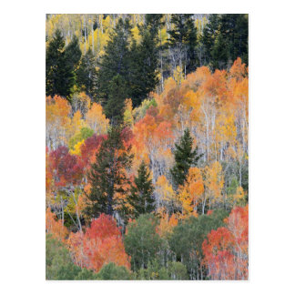 Provo flod- och aspenträd 4 vykort
