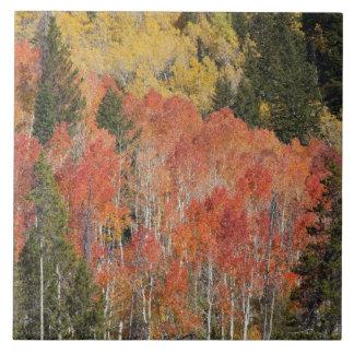 Provo flod- och aspenträd 6 kakelplatta