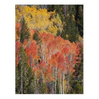 Provo flod- och aspenträd 6 vykort