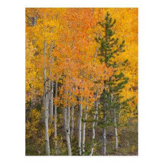 Provo flod- och aspenträd 7 vykort