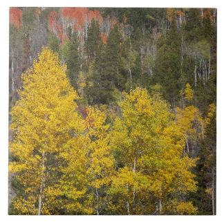 Provo flod- och aspenträd 9 kakelplatta