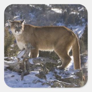 Puma, aka puma, puma; Pumaconcolor, Fyrkantigt Klistermärke