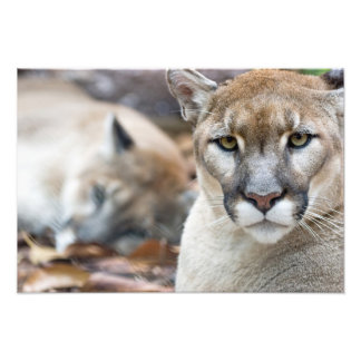 Puma puma, Florida panter, puma 2 Fotografiskt Tryck