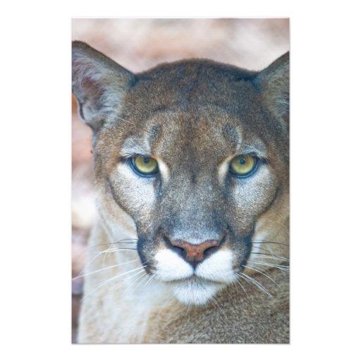 Puma puma, Florida panter, puma Fotografi