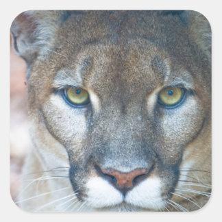 Puma puma, Florida panter, puma Fyrkantigt Klistermärke
