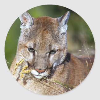 Puma som leker med blommorna runt klistermärke
