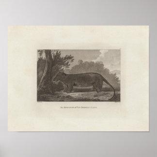 Pungråtta Skåpbil Diemens Landa, Tasmania Poster