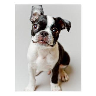 Puppy. för Boston Terrierhund Vykort