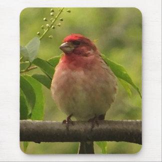 Purpurfärgad Finch Musmatta