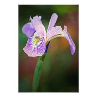 Purpurfärgad Iris 1 Fototryck