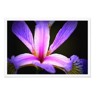 Purpurfärgad Iris 3e Fototryck