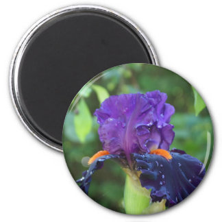 Purpurfärgad Iris efter regna Magnet