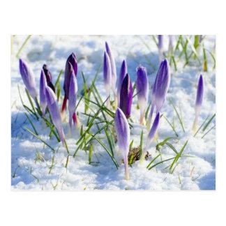 Purpurfärgad krokusblomma för kort i snö