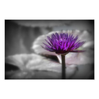 Purpurfärgad näckros fototryck