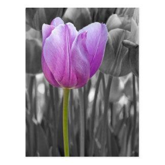 Purpurfärgad tulpan för vår på svartvitt vykort