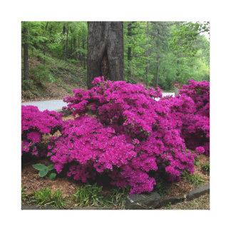 Purpurfärgade Azaleabuskar i blom Canvastryck