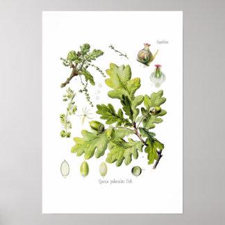 Quercuspedunculata: syn. Q robur. (Engelsk Oak) Poster